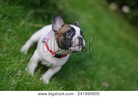 Curious Bulldog Puppy Lookuing Up. French Bulldog Baby On Grass. Outside Photo Of Best Friend. Small