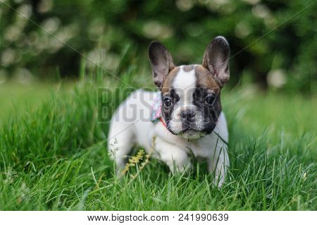 Cute Small Bulldog Outside In Park. Green Grass With Adorable Puppy. Beautyfull Smooth Bookeh.