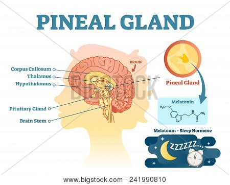 Pineal Gland Anatomical Cross Section Vector Illustration Diagram With Human Brains. Medical Informa