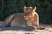 Lioness lying in shade after a huge meal poster