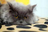 beautiful pedigreed gray cat looking at camera poster