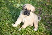 Puppy of the Spanish mastiff on a green grass poster