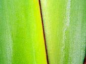 Fresh green color and texture on body of traveler's palm, Ravenala banana poster