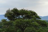 lots of Storks on a tree in Africa poster