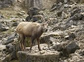 Alpine Ibex on rock formation in Southern Germany poster
