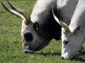 A pair of Hungarian Grey cattle eating grass at Tihany peninsula poster