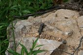 Little lizard that was sunning himself on the rocks by the lake. poster