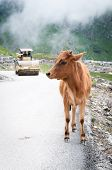 Calf on mountain road with roller compactor on background poster
