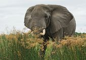 a elephant in Uganda (Africa) in high grassy environment poster