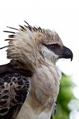 Head shot of the massive crested Eagle while it rests on a nearby branch in Peru. poster
