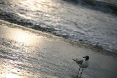 Seagull walking on the beach at sunrise on Virginia Beach poster