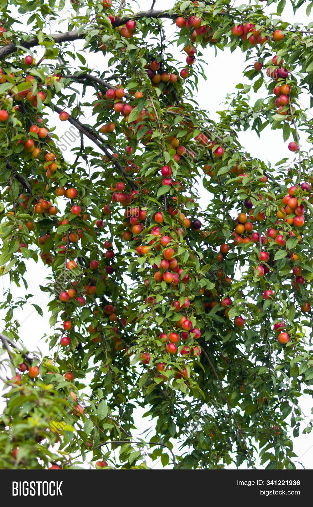 Fruits Cherry Plum On Image Photo Free Trial Bigstock