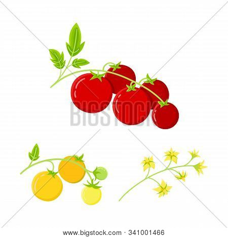 Cherry Tomato, Home Plant. Ripe Red Tomatoes Icon On A Plant Branch. Isolated Elements Of Tomato, Fl