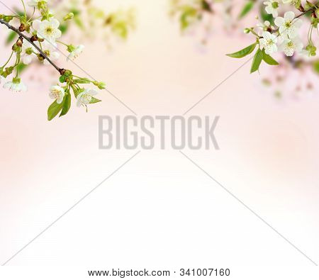 Cherry Blossoms. Spring Background Of Blooming Flowers. White Flowers. Beautiful Nature Scene With A