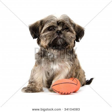 Shih Tzu Puppy With A Toy
