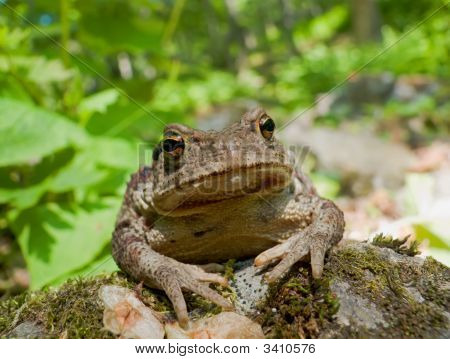 Far-Eastern Toad (Bufo Gargarizans)
