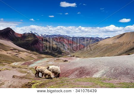 Llamas On The Background Of Rainbow Mountains Of Peru. Peruvian Andes. Ausangate Mountain