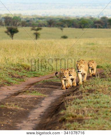 Lion family walking down a road (Panthera leo)  in the Serengeti National park, Tanzania