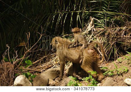 Closeup of Olive Baboon with baby on its back (scientific name: papio anubis) in Lake Manyara National park, Tanzania