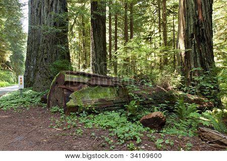 Redwoods Hwy-101 California.