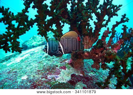 White Collor Butterflyfish In The Deep Blue With Corals Reef.