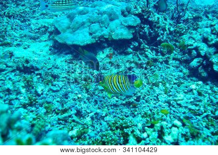 School Of Redtailed Butterflyfish At Smilan Islands Thailand