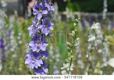 Delphinium Or Larkspur Flower On Garden Flower Bed
