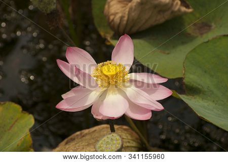 Lotus Flower (nelumbo Komarovii, Nelumbo Nucifera Also Known As Indian Lotus, Sacred Lotus, Bean Of