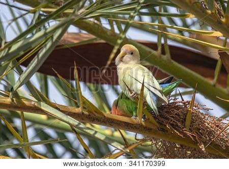 A Pastel Colored Love Bird Sits In Front Of A Brigher Bird On A Palm Tree Branch