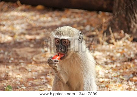 Human feeding monkey fruit