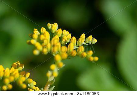 Sedum Palmeri Plant With Bright Golden-yellow Small Star-shaped Flowers, Close Up. Palmers Sedum Orn