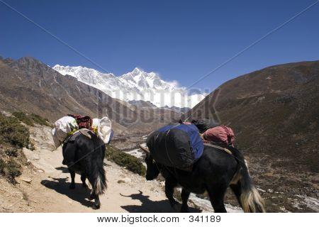 Himalayan Yaks Nepal