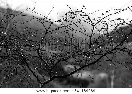 Black And White Tree Branches With Raindrops. Rain And Nature Concept