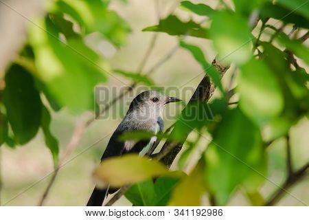Oriental Magpie Robin Is On A Branch, Oriental Magpie Robin Is A Bird That Eats Insects. On A Shiny