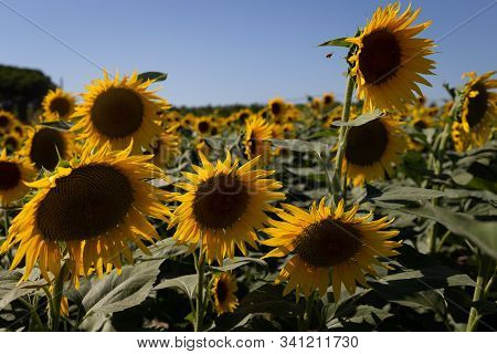 Sunflower Field And Clear Blue Sky In Toscany, Italy