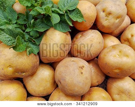 Raw Potatoes Pile Harvest Closeup & Potatoes Leaf On Organic Farm. Potatoes Plant Vegetable Harvest