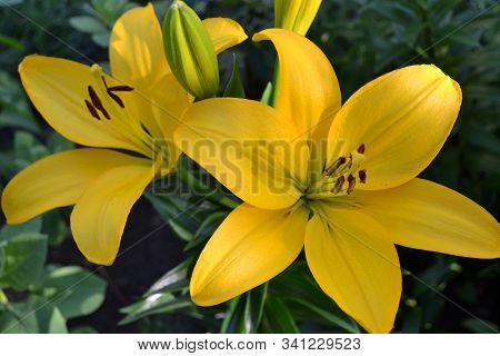 Asiatic Hybrid Lily Bright Yellow Flower. Clear Yellow Gironde Lily Or Lemon Yellow Lilium Butter Pi