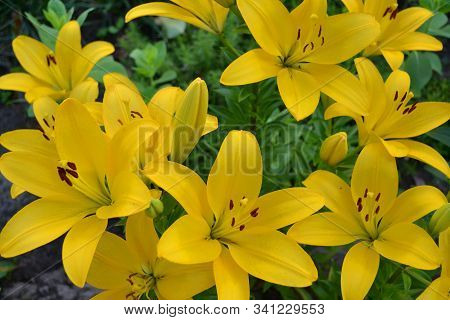 Asiatic Hybrid Lily Texture. Clear Yellow Gironde Lily Or Lemon Yellow Lilium Butter Pixie, Gorgeous