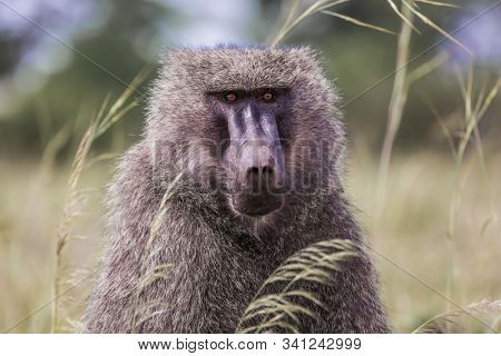 Animals in the wild. The famous Masai Mara Reserve in Kenya. Baboon, or yellow baboon, in the grassy savannah. The concept of active, ecological, exotic and photo tourism