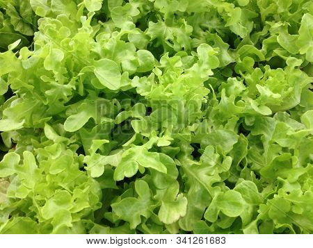Fresh Organic Green Oak Lettuce Growing In The Garden For Background And Texture