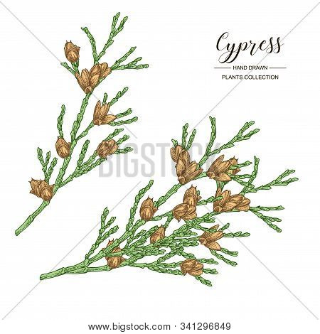 Cypress Branches With Cones Isolated On White Background. Hand Drawn Evergreen Plant. Vector Illustr