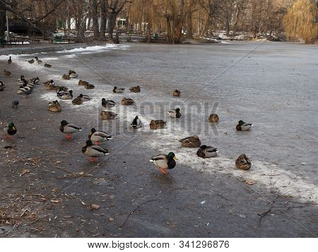 Ducks On Winter Ice River. Winter River Ice Snow Ducks. Ducks On Frozen River