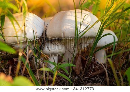 Autumn Forest Or Meadow Mushrooms In The Grass. Picking Mushrooms. Toadstool Mushroom Growing In The
