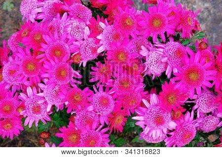 Purple Chrysanthemums In Nursery And Garden Shop. Chrysanthemums Bouquet, Wallpaper And Decoration.
