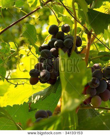 Ripe Black Grapes On Branch