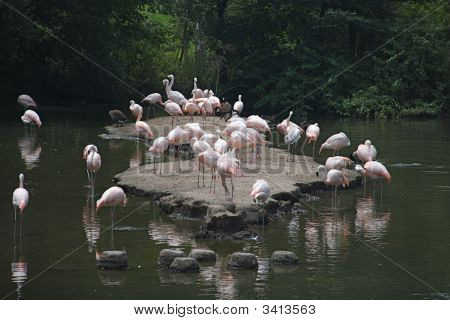 Chilean Flamingoes