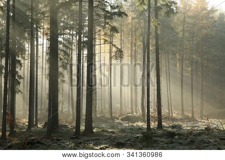 Autumnal forest foggy dawn sunrise sun morning Nature background scenic Nature background autumn woods pine spruce trees Nature background Nature background mist fog fall Nature background misty sunlight light Nature background rays day Nature background.