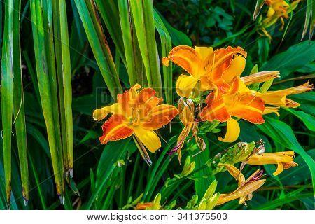 Hemerocallis Frans Hals, Dutch Cultivar Specie Of The Daylily, Popular Colorful Garden Flowers