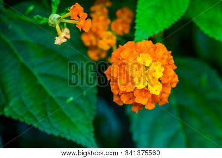 Macro Closeup Of Yellow And Orange Lantana Camara Flowers, Tropical Flowering Plant Specie Native To