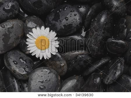 Black stones and a daisy covered with water droplets